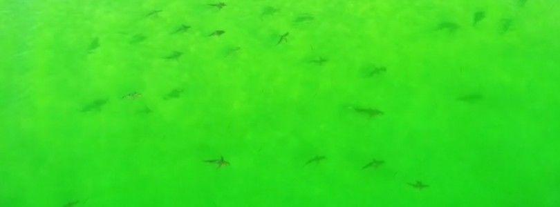 Dron graba cientos de tiburones cerca de la playa de Florida
